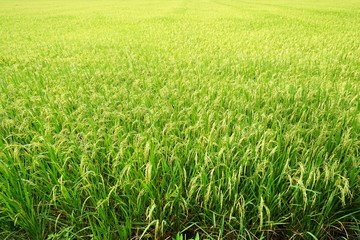 Green cornfield at Thailand, Idea agriculture, Space for text in template, Travel and Ecological concept