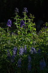 Rocky Mountain Purple Lupin Glowing From Setting Sun