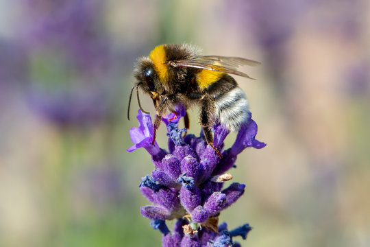 bee on violet lavender