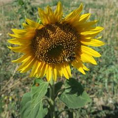 Sunflower in the cornfield in summer in Germany
