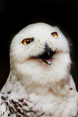 Wall Mural - Portrait snowy owl with open beak
