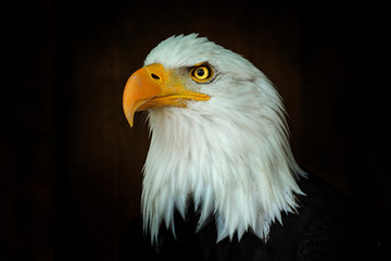 Fototapete - Portrait Bald eagle, Haliaeetus leucocephalus, on the black background