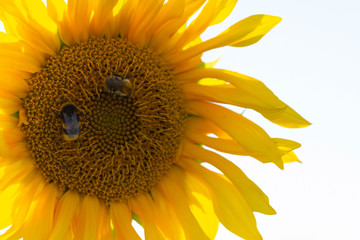 High-rise, sunflowers (Helianthus ) are bumble bees. Yellow flower of a sunflower on a white background. Bumblebees collecting pollen. Yellow flower on a white background.