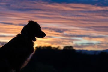 Mili the Miniature Australian Shepherd, Silhouette