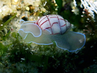 Red Lined Bubble Snail-Bullina Lineata in Sydney, Australia