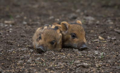 Young wild Boar family