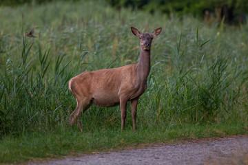 Red Deer outdoors Netherlands