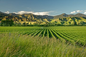 Vineyard, winery New Zealand, typical Marlborough landscape with vineyards and roads, hills and mountains