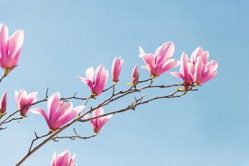 Fotomurales - Pink magnolia flowers bloom in spring on blue sky background.