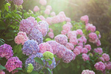 Fotomurales - Hydrangea is pink, blue, lilac, violet, purple bushes of flowers are blooming in spring and summer at sunset in town garden.