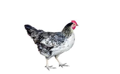 variegated chicken on white background