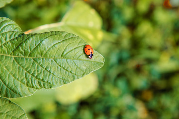small insect ladybird sits on a green leaf.