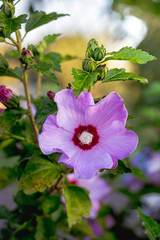 Light purple flower of hibiscus surrounded by green leaves_