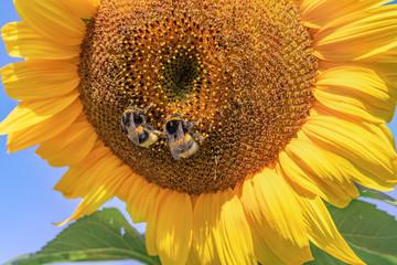 Sonnenblume mit Biene - Hummel