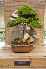 Bonsai tree  - Chinese juniper.