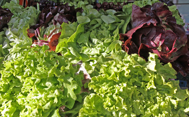 Green and dark lettuce. Fresh organic lettuce for salad. Healthy vegetarian food. Vitamins food. Vegetable lettuce background. Lettuce pattern. Raw vegetables texture. romaine salad on daylight.