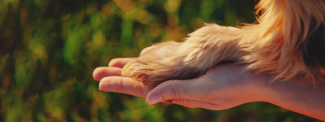 Yorkshire terrier gives paw