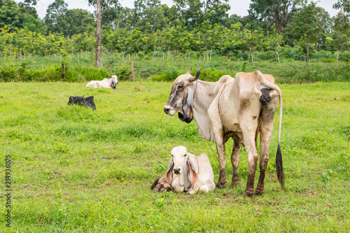 """""""A white female brahman cow standing next to her calf ..."""