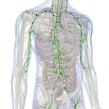 Lymphatic System Internal Anatomy in Male Chest and Abdomen