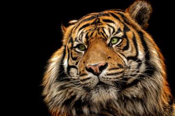 Portrait tiger on the black background