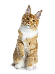 Gorgeous red Maine Coon cat kitten sitting straight up with one paw lifted, isolated on white background and looking at lens