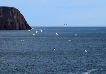 group of Seagulls flying above the blue Atlantic ocean near the shore, Majestic Red Head Cliff in the background;  Flatrock, NL Canada