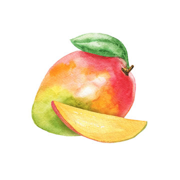 Hand drawn watercolor mango composition isolated on white background. Fruit delicious illustration.