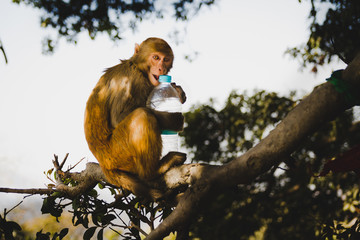 Portrait of  a playful rhesus macaque monkeys in the tree