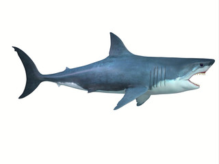 Great White Shark Side Profile - The Great White shark is a large carnivore found in all ocean environments and can live to 70 years old.