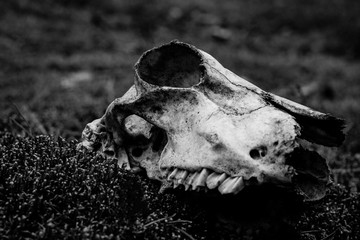 Animal skull on the ground. Loneliness