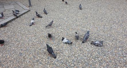 鳩の群れ A group of pigeons