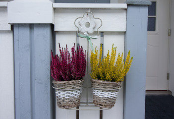 Bush of calluna plant with pink and yellow flowers in pots at winter.