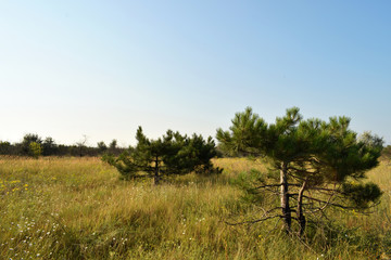 Pines among meadow flowers. Thick, tall grass. Bright blue summer sky.