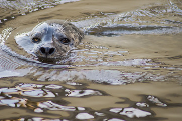 Head of a seal in a pond of a park