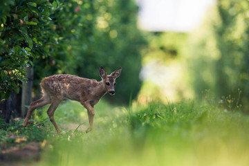 Wall Mural - young fawn of deer