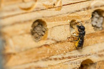 Large-headed resin bee - Heriades truncorum