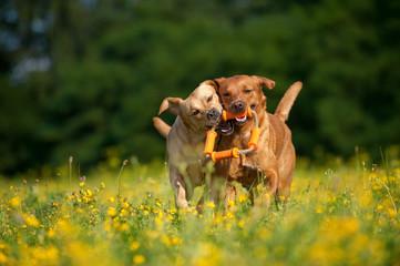 Zwei Labradore spielen in einer Blumenwiese