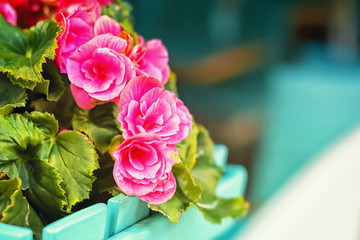 Flowers of pink begonia adorn the streets of the summer city.