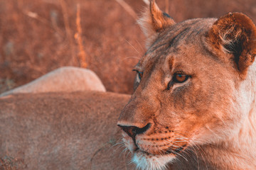 Close-up of a lioness, Madikwe Game Reserve, South Africa
