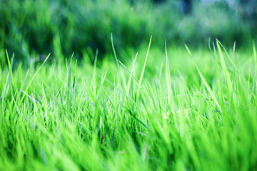 green grass background,the sun shines through the grass, texture of grass