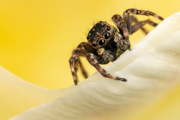 A brown jumping spider on the yellow petal in the yellow background