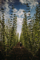 Woman walking through a hop field, Serbia