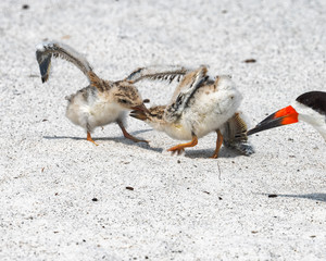 Two black skimmer chicks fighting