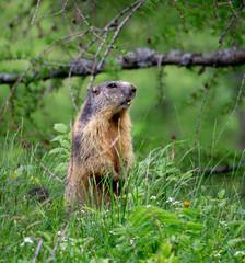 Beaver Standing Around the Vegetation