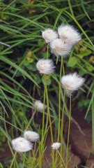 Tundra Cotton Flowers