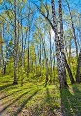 Sunny spring day in a birch grove.