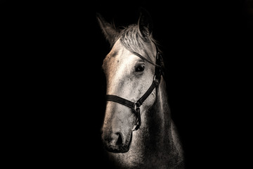 Poster - White horse on the black background