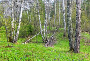 Spring in a birch grove.