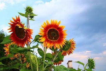 Fotoväggar - insektennahrung sonnenblume
