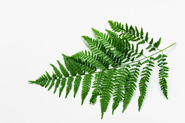 Branch of green forest plant fern on white background.